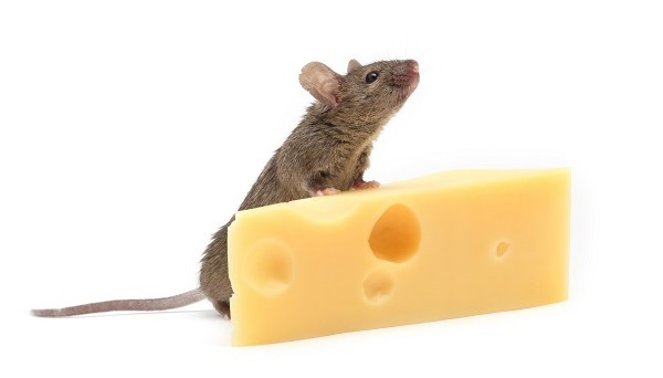 Mouse with cheese isolated on white