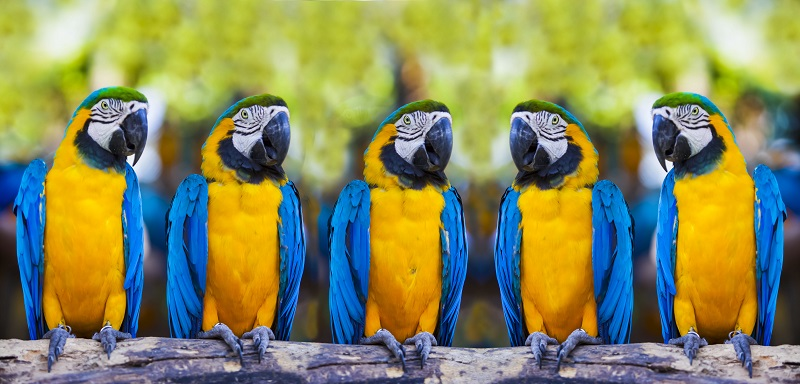 Blue macaws sitting on log